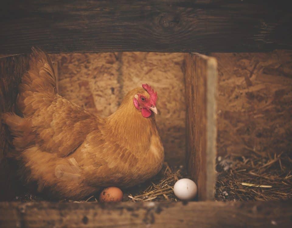 legnest voor kippen maken hok